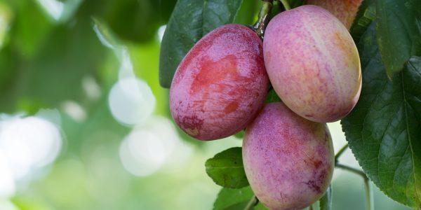 L'importance de la taille des arbres fruitiers en Juillet