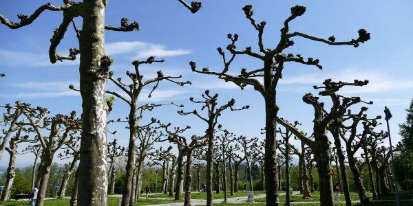 Élagage des arbres à la fin de l'hiver et au début du printemps